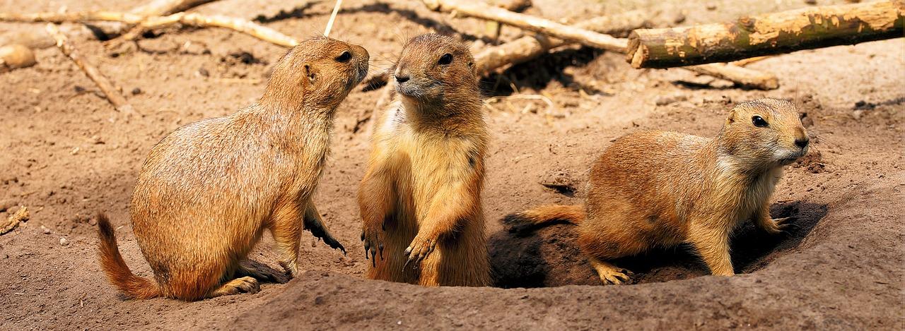 prairie-dogs-2393701_1280.jpg