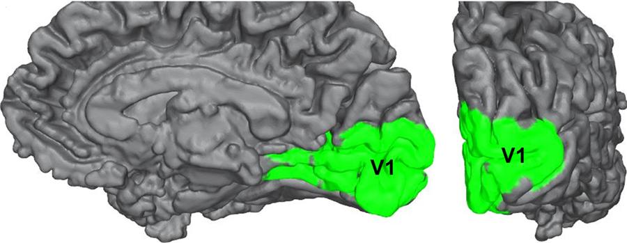 Human_visual_cortex_V1_cropped.png
