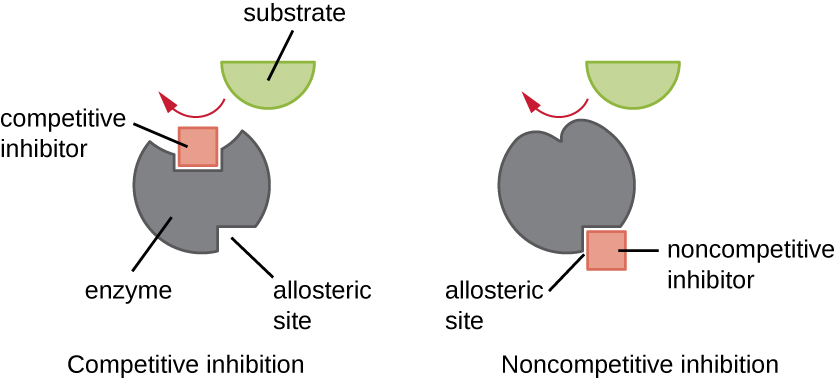 enzyme activity can be regulated by either competitive inhibitors which bind to the active site or noncompetitive inhibitors which bind to an allosteric