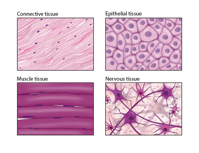 what are the types of tissues in the human body