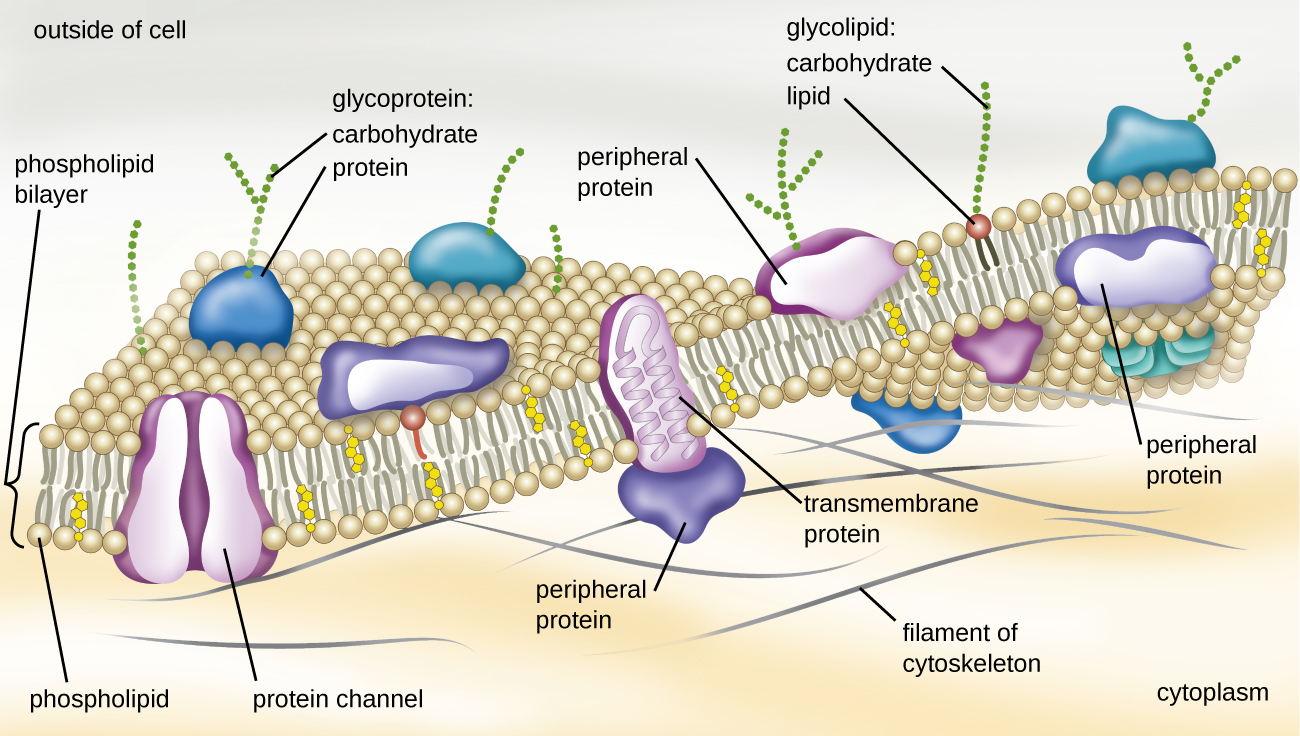Openstax Microbiology 33 Unique Characteristics Of Prokaryotic Cell Diagram Chapter 11 Structure Cells Introduction To Plasma Membrane