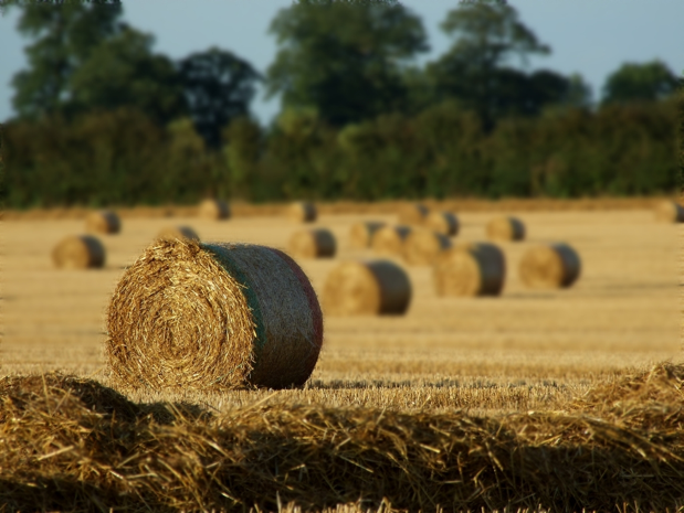 A wheat field after harvest where the wheat has been cut and rolled into bales.