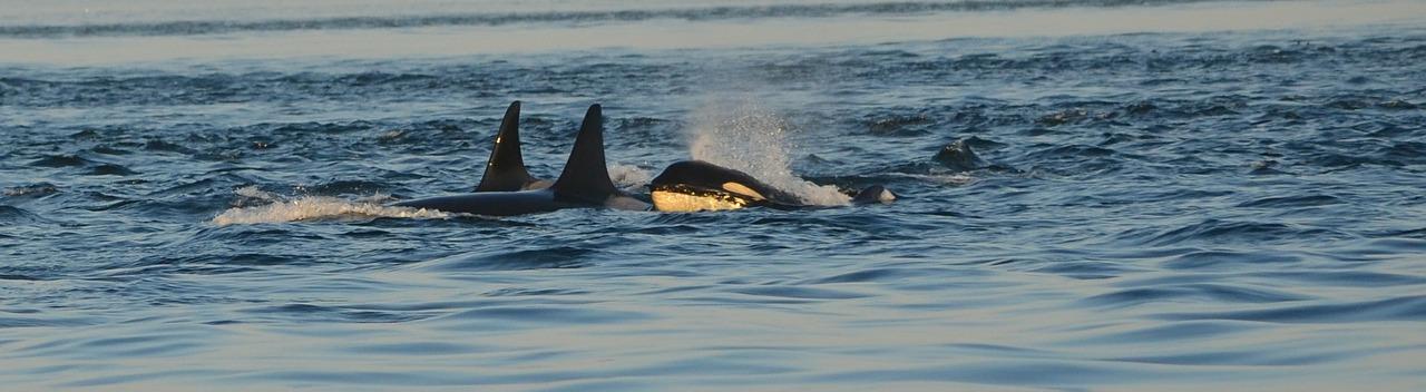 orca-596875_1280.jpg