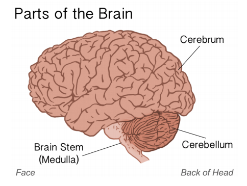 A Brain System That Appears To >> Central Nervous System Study Guide Top Hat