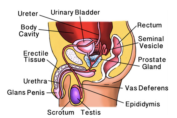 male reproductive structures study guide top hat rh tophat com Male Reproductive Systems Labeled Slide male reproductive system study guide answers