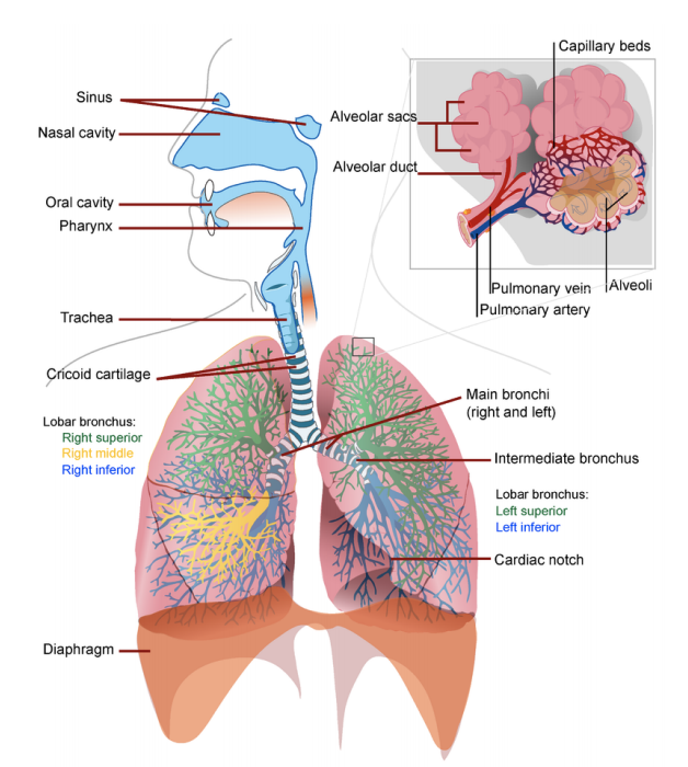 Respiratory System Organs Study Guide Top Hat