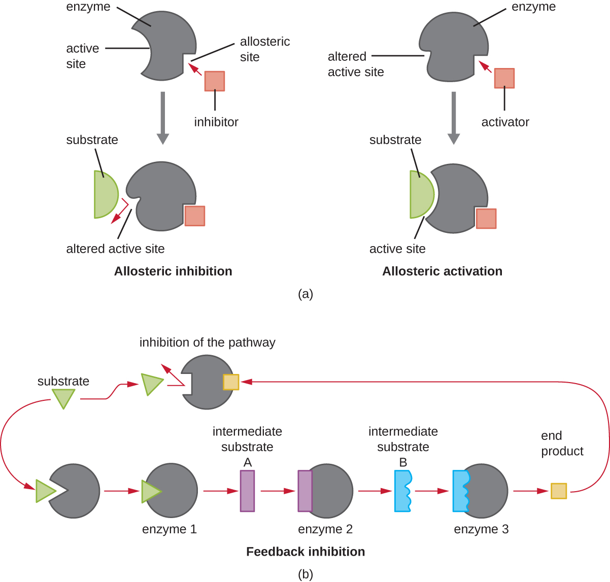 Examples of enzymes ending in asexual reproduction