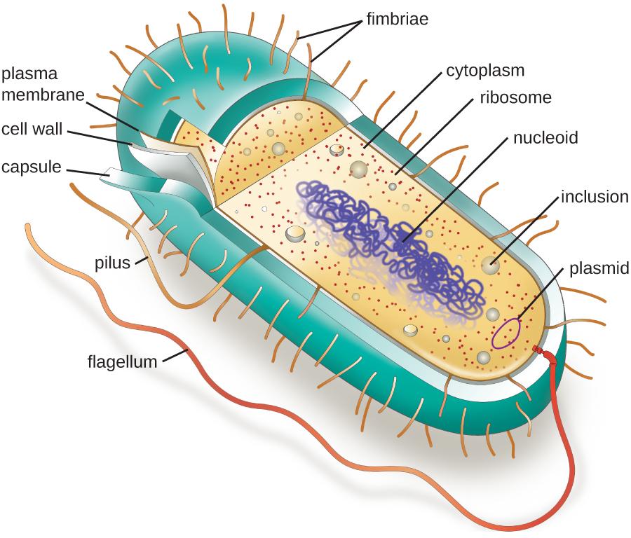openstax microbiology 3 3 unique characteristics of prokaryotic